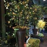 Van takken maken we een citroenboom. Niet van echt te onderscheiden en altijd met citroentjes. Info@pieterszevenbergen.nl