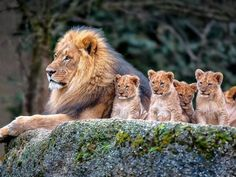 Lion and baby lions, nature, animals, baby animals, animal themes Beautiful Cats, Animals Beautiful, Beautiful Family, Nature Animals, Animals And Pets, Big Cats, Cats And Kittens, Cute Baby Animals, Funny Animals