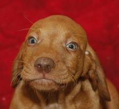 Vizsla pup Vizsla Puppies, Dogs And Puppies, Vizsla Dog, Dachshunds, Doggies, Most Beautiful Dog Breeds, Beautiful Dogs, Animals Beautiful, Baby Animals