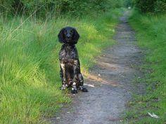 Grote Munsterlander pup