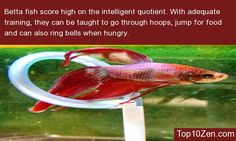 20 Interesting Betta Fish Facts To Better Know Your Betta Bettas score high on the intelligent quotient.  With adequate training, they can be taught to go through hoops, jump for food and can also ring bells when hungry.  The little pets can also identify their owners and swim towards the tank's front during feeding time.
