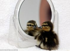 This baby duckling has been kept alive by looking at it's reflection in a mirror--- read story at --> http://www.dailymail.co.uk/news/article-2019468/Rescue-centre-gives-duckling-mirror-doesnt-die-loneliness.html