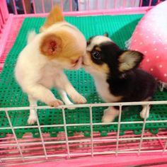 Chihuahua Love :)