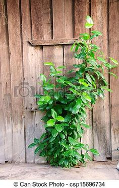Stock Photo - small plant growing between wooden wall - stock image, images, royalty free photo, stock photos, stock photograph, stock photographs, picture, pictures, graphic, graphics
