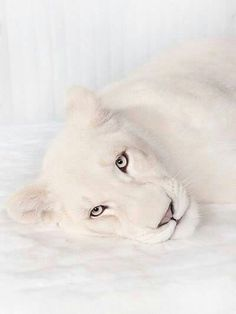 GORGEOUS WHITE LIONESS...