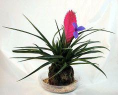 Hawaiian Pink Quill Volcano Plant - Exotic & Easy, http://www.amazon.com/dp/B000PHHEJI/ref=cm_sw_r_pi_awdl_capIsb0JGESZR
