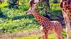 A bouncing baby giraffe has made her debut at the Bronx Zoo.
