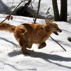 【taro_tosh】さんのInstagramの写真をピンしています。《走れ太郎!走れ! 何故か急に走り出す太郎 #冬 #森 #雪 #林 #森 #木 #疾走 #run #winter #snow #woods #forest #retriever  #犬 #ゴールデンレトリーバー  #レトリバー #ゴールデン #犬バカ部 #癒しワンコ #ふわもこ部 #ゴールデンレトリバー  #dogsofinstagram #WebstaPets #ilovemydog #dogoftheday #dogsofinstaworld #mydogiscutest #goldenretriever #instadog #adventurewithdogs》