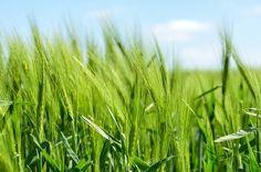 Barley, Cereal, Grain, Healthy, Food