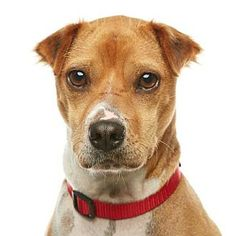 Los Angeles, CA - Jack Russell Terrier/Chihuahua Mix. Meet Daisy, a dog for adoption. http://www.adoptapet.com/pet/11775266-los-angeles-california-jack-russell-terrier-mix
