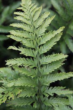 Asplenium bulbiferum 'Maori Princess'