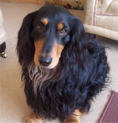 Long haired dachshunds have the greatest personalities! #dachshund