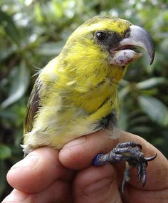 Pseudonestor xanthophrys, Kiwikiu or Maui Parrotbill. The bill of an adult male Maui Parrotbill