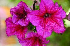 Petunia - Red Veined