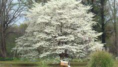 Beautiful Dog Wood tree.  Diana,TX