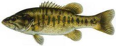 Guadalupe Bass (Micropterus treculii)