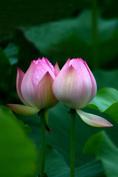 You are not alone in a bad environment. Together, like the lotuses we shall rise above it. Lotus Flower Art, Lotus Bud, Lotus Plant, Pink Lotus, My Flower, Most Beautiful Flowers, Exotic Flowers, Pretty Flowers, Sacred Lotus