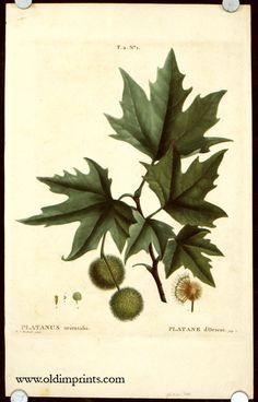 Platane d& London Plane Tree, Engraving Printing, Botanical Prints, Hand Coloring, Oriental, Place Card Holders, Mistress, Artist, Language