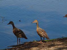 Duck Plumed Whistling  Photo Marj Webber