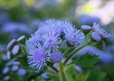 Ageratum_houstonianum_blue
