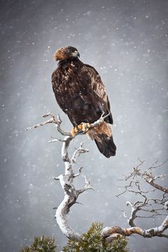 Golden Eagle (Aquila chrysaetos) in the snow Different Types Of Eagles, Where Eagles Dare, Golden Eagle, Wild Creatures, Tier Fotos, Bird Pictures, Birds Of Prey, Beautiful Birds, Beautiful Creatures