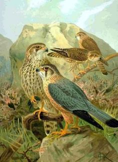 The Merlin Falcon is a small, but deadly bird of prey. They often prey on small to medium size birds, swooping down and grabbing the unsuspecting...