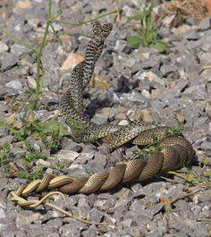 Balkan whip snakes mating