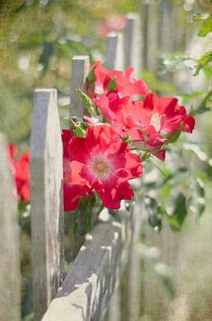 Red flowers over a white fence