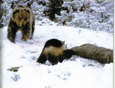 Wolverine Fights of Grizzly Bear | Animal vs. Animal Pictorial