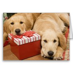 Golden retriever puppies with christmas gift greeting cards.  $3.15