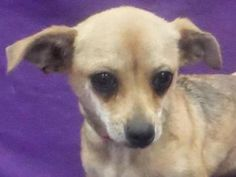Cookie, Female Chihuahua, Short Coat   Animal Humane Society