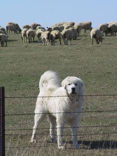 Great Pyrenees Dog pHOTO   Great Pyrenees sheep dog watches over his flock – TRUE DAKOTAN