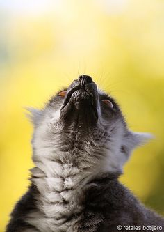 lemur Lemurs, Red Pandas, Sloths, Primates, Madagascar, Monkeys, Dragons, Cute Babies, Cute Animals