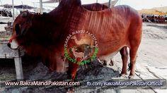 Es Ki Price Sirf 5 Lakh :O :O :O  Meny 2 Lagaya Nahi Diya :( :( :(  Kitnay FINAL LAGAIN APP LOG BATAIN ? Join us on www.fb.com/Startfun Visit us www.BakraMandiPakistan.com