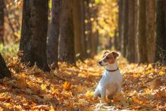 jack russel on autumn alley Happy Puppy, Happy Dogs, Setter Puppies, Super Cute Puppies, Dogs Trust, Cute Squirrel, Fall Family Photos, White Dogs, Jack Russell Terrier