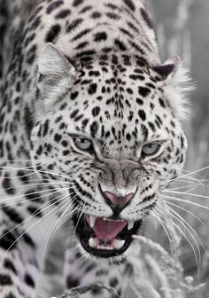 Snow Leopard •