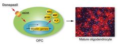 Global Medical Discovery features paper: Nicotinic acetylcholine receptors mediate donepezil-induced oligodendrocyte differentiation