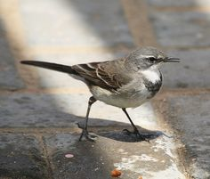 Cape Wagtail | Flickr - Photo Sharing!