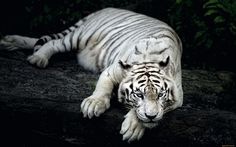 Watchful eyes bengal tiger wallpaper tigers animals wallpapers for