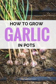 Garlic.It's one of the most useful tools in your kitchen, it stores well, and it can radically change the appeal of your cooking. But is it easy to grow on your own? The short answer is, yes. (Hooray!) #gardening #garden #farming #garlic