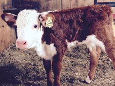 New bottle baby! Hereford heifer born 4/14/15