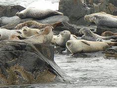 Egg Island Seals! Bar Harbor, ME New England States, New England Fall, Acadia National Park, National Parks, Dc Travel, Travel Maine, Acadia Maine, Bar Harbor Maine, East Coast Road Trip
