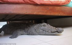 Find out what this croc is doing under the bed...click on link for full story...