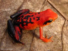Ameerega silverstonei; Silverstone's poison frog