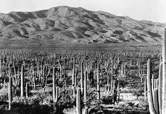Saguaro National Park, East Unit, Southern Arizona - ca. 1935. Love the SW