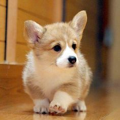 Adorable corgi :) I'm getting one and naming it corey the corgi and it will be adorable and fat