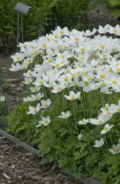 Anemone sylvestris (Snowdrop): Wonderful anemone white flowers brighten up any g. - Anemone sylvestris (Snowdrop): Wonderful anemone white flowers brighten up any garden, sun or part - Shade Perennials, Flowers Perennials, Shade Plants, Planting Flowers, Flowers Garden, Spring Flowers, Moon Garden, Dream Garden, White Flowers