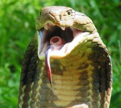 King cobra close-up Spiders And Snakes, Poisonous Snakes, Reptiles And Amphibians, Mammals, King Cobra Snake, Snake Venom, Beautiful Snakes, Animals And Pets, Rare Animals