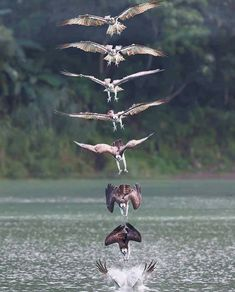 Osprey (Pandion haliaetus) action dive sequence by joinus12345 on instagram.