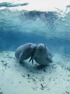 An Underwater Shot of a Pair of Florida Manatees Photographic Print by Brian J. Skerry..  via pinterest